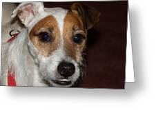 Petey Dog Jack Russell Greeting Card