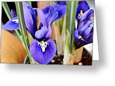 Petite Dutch Irises Greeting Card