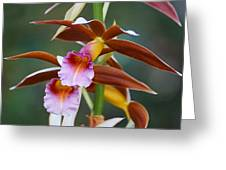 Phaius Tankervilliae Orchid Greeting Card