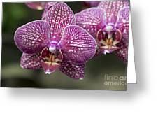 Phalaenopsis Helen Alice Mary 2220 Greeting Card