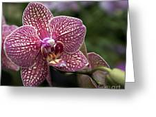 Phalaenopsis Helen Alice Mary 2308 Greeting Card