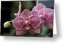 Phalaenopsis Helen Alice Mary 2346 Greeting Card