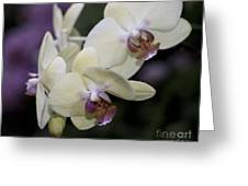Phalaenopsis Ming Chao Dancer   8585 Greeting Card