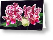 Phalaenopsis Orchid Taida Little Zebra  Greeting Card