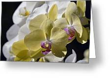 Phalaenopsis Orchids 2777 Greeting Card
