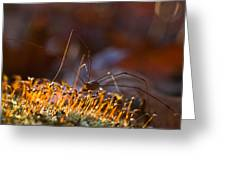 Phalangid Among The Moss Capsules Greeting Card