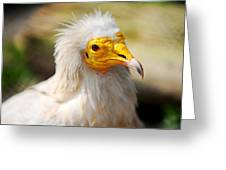 Pharaoh Chicken. Egyptian Vulture Greeting Card