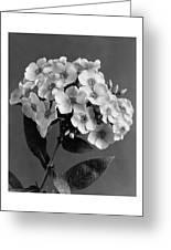 Phlox Blossoms Greeting Card