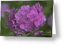 Phlox Nicky Greeting Card