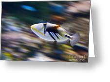 Picasso - Lagoon Triggerfish Rhinecanthus Aculeatus Greeting Card