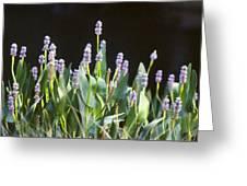 Pickerel Weed Greeting Card