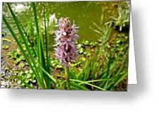 Pickerel Weed Plant Greeting Card