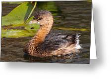Pied-billed Grebe Greeting Card