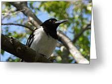 Pied Butcher Bird Greeting Card