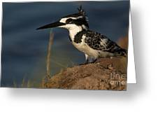 Pied Kingfisher Greeting Card