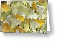 Pierid Butterfly Pieridae Puddling Greeting Card