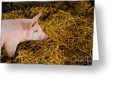 Pig Standing In Hay Greeting Card by Amy Cicconi
