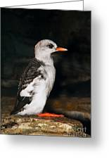 Pigeon Guillemot Juvenile Greeting Card