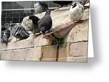 Pigeons Greeting Card