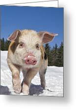 Piglet Walking In The Snow Greeting Card