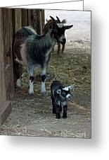 Pigmy Goats Greeting Card