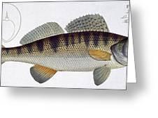 Pike Perch Greeting Card