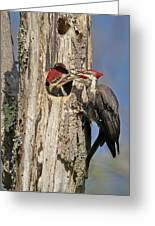 Pileated Woodpecker And Chick Greeting Card