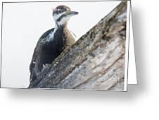 Pileated Woodpekcer Greeting Card