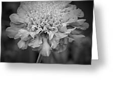 Pincushion Bw Greeting Card