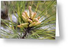 Pine Catkins Greeting Card
