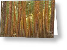 Pine Forest Lienewitz Germany Greeting Card