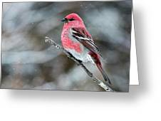 Pine Grosbeak  Pinicola Enucleator Greeting Card