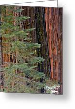 Pine In The Redwoods Greeting Card