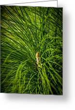 Pine Needles Greeting Card