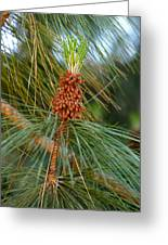 Pine Tree Branch Greeting Card
