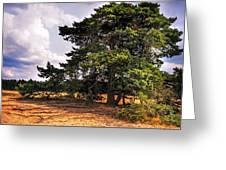 Pine Tree In Hoge Veluwe National Park 1. Netherlands Greeting Card