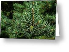 Pines Greeting Card