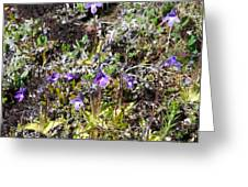 Pinguicula/myvatn Greeting Card