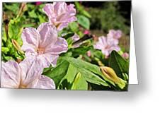 Pink 4 O'clocks Greeting Card
