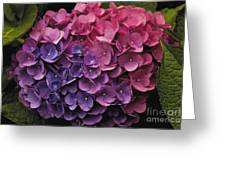 Pink And Blue Hydrangea Greeting Card