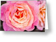 Pink And Peach Rose Flower Greeting Card