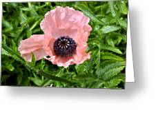 Pink And Purple Poppy Greeting Card