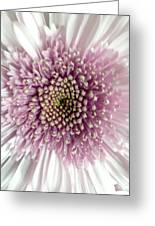 Pink And White Chrysanthemum Greeting Card