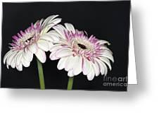 Pink And White Gerbera 2 Greeting Card