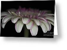 Pink And White Gerbera 3 Greeting Card
