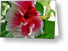 Pink And White Hibiscus Greeting Card