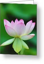 Pink And White Lotus Flower Greeting Card