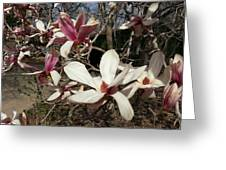 Pink And White Spring Magnolia Greeting Card