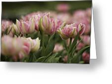 Pink And White Tulip Greeting Card by Lesley Rigg