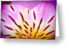Pink And Yellow Peruvian Lily Greeting Card